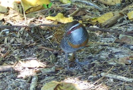 Buff-banded Rail, Green Island