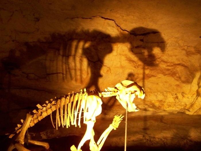 Thylacoleo carnifex, Australia's lion! Naracoorte Caves, South Australia