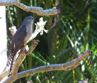 Pilchard's fine pic of Fan-tailed Cuckoo