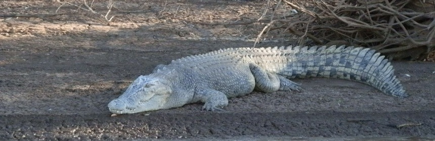 White Crocodile, Victoria River, Northern Territory