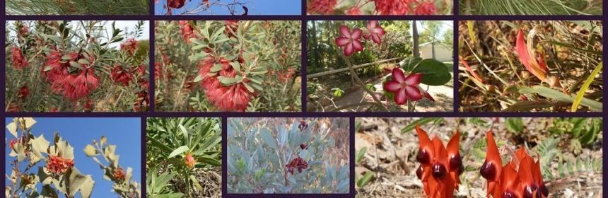 Red Western Australian Wildflowers