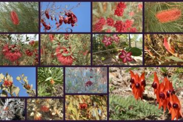 Red Western Australian Wildflowers