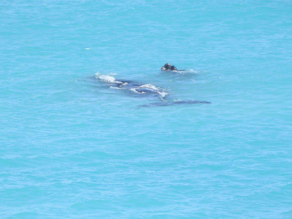 Whale calf at play, Head of Bight, South Australia