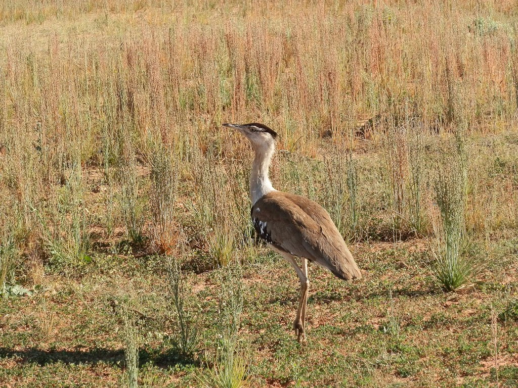 Australian Bustard at Quobba, Western Australia