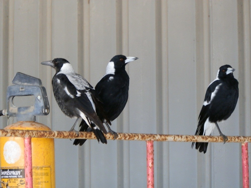 Magpies at rest