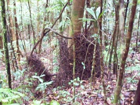 Golden Bowerbird Bower, Secret Location