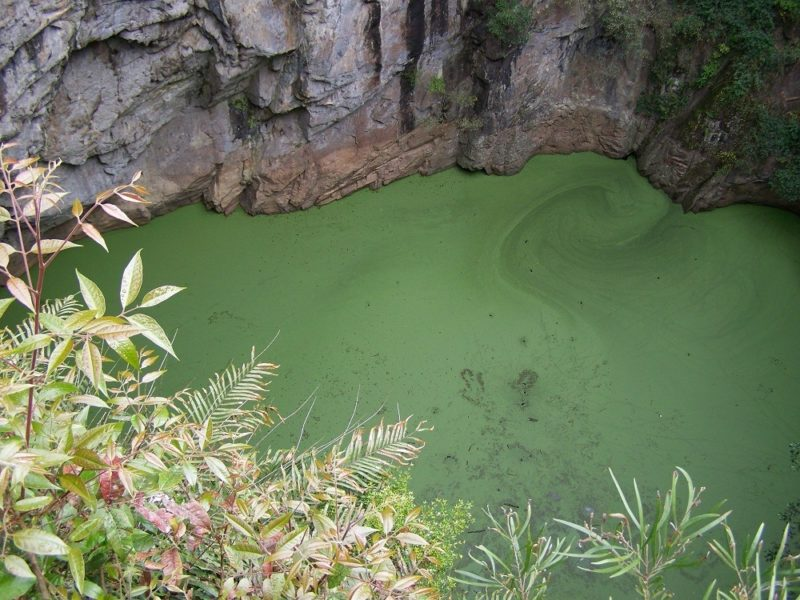 Native Waterweed on the surface of the Crater pool, Mt Hypipamee National Park, Queensland