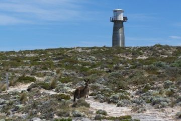 Still life with Lighthouse and Kangaroo, Southern Yorke Peninsula, South Australia