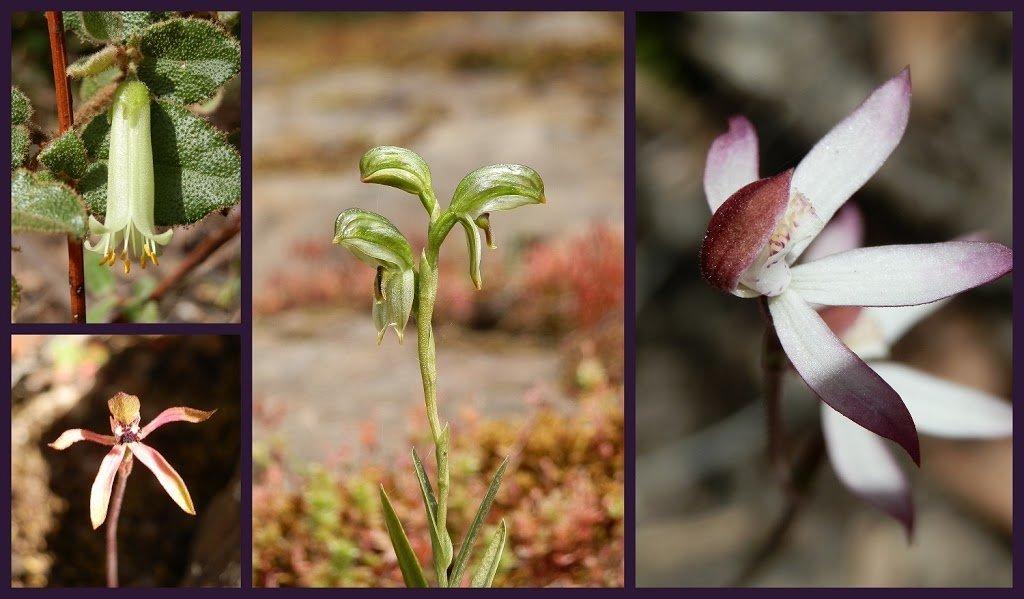 Grampians Wildflowers on the Pinnacle Trail, Victoria