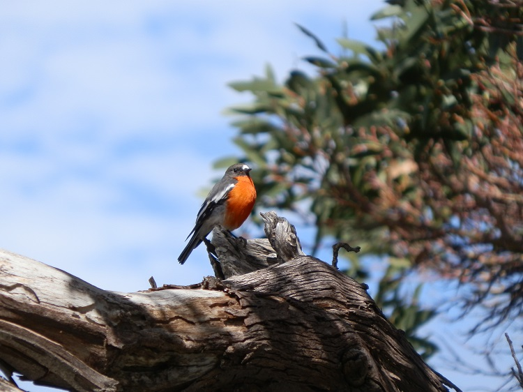 Flame Robin at Charlotte Pass, New South Wales