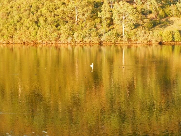 Still life with Pelican at Khancoban Pondage, New South Wales