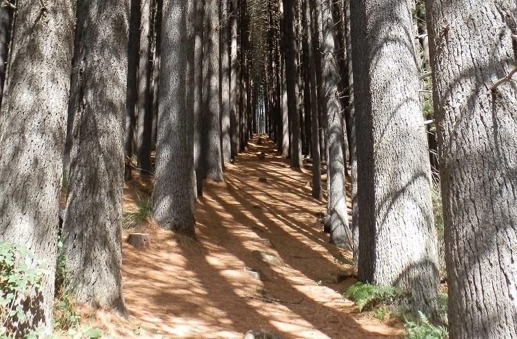 Sugar Pine Portal, Sugar Pine Walk, Bago State Forest