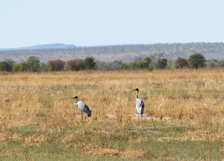 Brolga at Marlgu Billabong, Kimberley, Western Australia