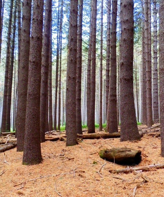 Sugar Pine Walk, Bago State Forest, New South Wales