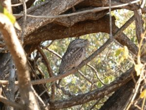 Tawny Frogmouth, Broome Bird Observatory
