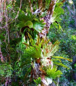 Rainforest Ferns