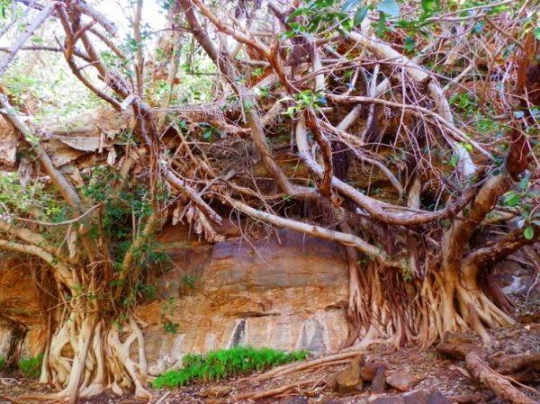 Fig Trees near Fern Pool, Dales Gorge, Karijini National Park