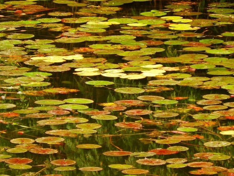 Lilypads on Rocky Creek Dam, North New South Wales