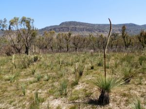 Grass Trees at Victoria Valley, Grampians