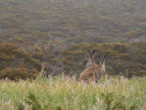 Kangaroos at Innes National Park