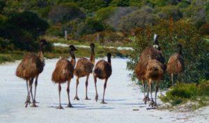 Emus at Innes National Park