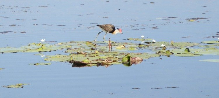 THIS bird walks on water! Comb-crested Jacana