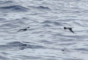 White-bellied Storm Petrels