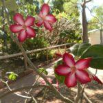 Desert Roses - these are near Wyndham, WA