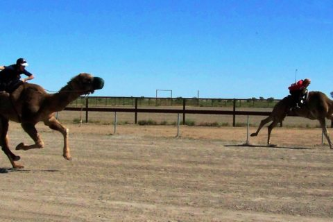 Camels Racing at Bedourie, Outback Queensland, Australia