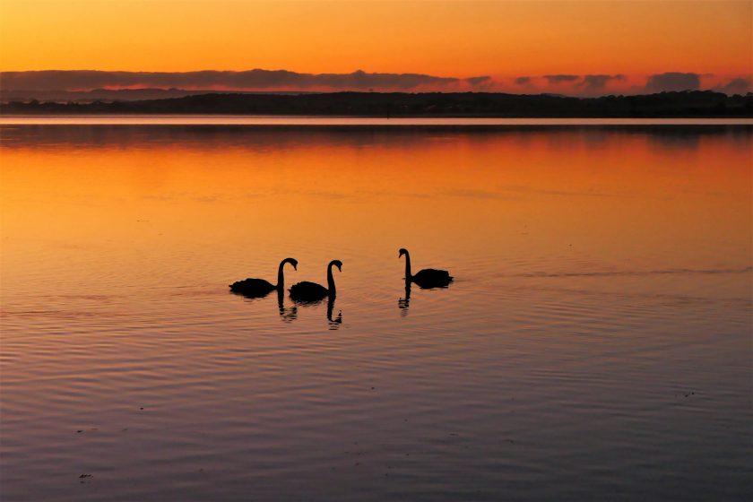 Sunrise with Swans, American River, Kangaroo Island